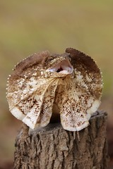 Chlamydosaurus kingii, Frilled-neck lizard (deathdujour) Tags: wildlife fauna animals australianreptiles australia reptiles herps lizard frillednecklizard frilledagama chlamydosauruskingii agamid