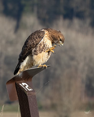 Let Us Prey (dennis_plank_nature_photography) Tags: avianphotography redtailedhawk ridgefieldnwr birdphotography naturephotography ridgefield wa avian birds nature
