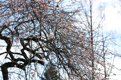 IMG_0855 (lesguillemets) Tags: kyotobotanicalgarden blossom plum