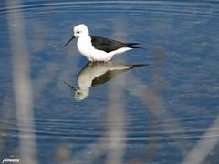 Qui est la plus belle , ô mon beau miroir ? (Armelle85) Tags: extérieur nature lagune ria eau reflet oiseau échasseblanche faune