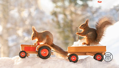 red squirrels are standing  on a tractor and wagon (Geert Weggen) Tags: snow car humor squirrel animal quadbike winter backlit closeup egg passion riding sweden cute nature rodent bright food holidayevent horizontal logo mammal photography red sun travel christmas holiday drive plow snowplough tractor agrimotor wagon quad vehicle shovel bispgården jämtland