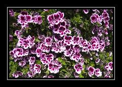 Profusion (Audrey A Jackson) Tags: canon60d nature colour