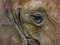 Elephant Eye (George Neat) Tags: elephant animals pittsburgh zoo ppg aquarium allegheny county pa pennsylvania georgeneat neatroadtrips