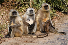 Black faced monkeys-1