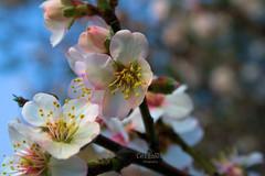 Flor de Almendro 3 (Rabadán Fotho) Tags: flor flores flowers floración florrosa flordealmendro field fields almendrosenflor series