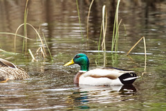Mallard (f.tyrrell717) Tags: whit bogs mallerds ducks bords new jersy pine barrens