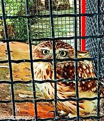 OWL (I K Photography) Tags: park owl animal zoo nature bird sunset beach water sky red flower blue night white tree green flowers portrait art light snow dog sun clouds