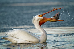 Bottom's Up (dcstep) Tags: dsc9086dxo bird fish eating water spray pouch beak pelican americanwhitepelican shad feeding prey sonya9 fe400mmf28gmoss fe20xteleconverter allrightsreserved copyright2019davidcstephens dxophotolab220 dxoprimenoisereduction handheld cherrycreekstatepark colorado usa greenwoodvillage cherrycreekreservoir lake cherrycreeklake