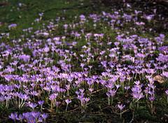 Signs of spring (Ernst-Jan de Vries) Tags: krokus bloembol bulb flower purple paars bokeh bloem lente spring 120 fujiprovia100f slide slidefilm dia provia fuji fujifilm e6 645 middenformaat mediumformat nature mamiya expired