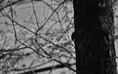 Grimpereau des Bois (Julien Godel) Tags: grimpereau des bois certhia familiaris eurasian treecreeper animalier animalière animaux animal arbre ailes wild wildlife wings nature nikon bird birding birds birdsofflickr birdwatcher birdwatching birdslife birder blackandwhite oiseau oiseaux ornitho ornithologie observation