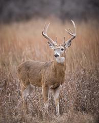 Big 9pt Buck (dbirmingham08) Tags: kansas trophy buck whitetail deer antlers rut male grass nature wildlife