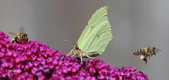 Ich hau ab................ (petra.foto busy busy busy) Tags: schmetterling biene zitronenfalter garten macro insekten fotopetra