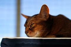 LizZie contemplating 😼😉 (DizzieMizzieLizzie) Tags: abyssinian aby lizzie dizziemizzielizzie portrait cat feline gato gatto katt katze kot meow pisica sony neko gatos chat fe ilce ilce7m3 a7iii pose classic pet golden bokeh dof animal t f14 85mm gm 2019 sun sport