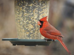 Hungry Bird (Anton Shomali - Thank you for over 2 million views) Tags: birdfeeder flickr colours colors color photo picture red male cardinal northern macro light nature outside beauty beautiful black seeds january bird hungry cold season winter midwest snow birds house backyard green yellow white flacks tree food wood nikon coolpix p900