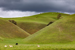 The Green, Green Hills (Kirk Lougheed) Tags: california montereycounty peachtreevalley usa unitedstates animal cattle cloud cow grass grassland hill landscape oak outdoor pasture plant sky spring tree valleyoak
