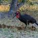 Südlicher Hornrabe / Southern Ground Hornbill