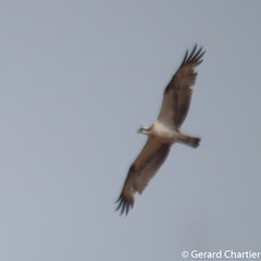 Pandion haliaetus (Osprey) (GeeC) Tags: pandionhaliaetus pandion tatai animalia aves accipitriformes nature chordata kohkongprovince cambodia pandionidae birds hawks osprey