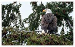 backyard eagle (marneejill) Tags: bc bald eagle adult closeup french creek tree branch