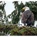backyard eagle