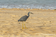 White-faced heron, patrolling the beach at Kiama (Peter.Stokes) Tags: australia australian colour fauna landscape landscapes nsw native nature newsouthwales outdoors photo photography sea sky vacations water winter colourphotography wildlife bird birds countryside beach sand