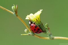 The Best Hiding Spot (Vie Lipowski) Tags: ladybug ladybird ladybeetle lapsanacommunis nipplewort insect bug beetle weed flower garden backyard wildflower wildlife nature macro