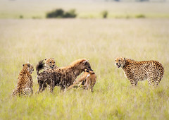 Cheetah, eland calf and hyena (Photobirder) Tags: cheetahkill 5boys hyenasteal elandcalf kenya eastafrica masaimara