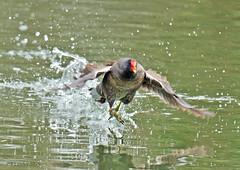 Moorhen.  R337.51..A4. (timetrialist5249) Tags: moorhen waterfowl water pond goffsparkcrawley wildlifephotography nature naturephotography spray waterdroplets bird crawleywildlife europeanbirdsandwildlife ildlifeuk nikond7100 tamron100400f4563divcusdshooters