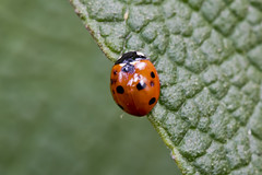 Seven-spot + Ladybug (Thomas Langhans) Tags: ladybird ladybug insect sevenspot beetle coleoptera larva coccinella septempunctata coccinellidae