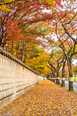 Foliage in Gyeongju (South Korea) (patuffel) Tags: gyeongju foliage south korea autumn 2018 road tree maple red yellow path walkway tumuli park street alley overarching tunnel leica m10 summicron 20 50mm