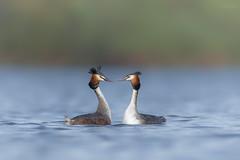 'Courtship' (benstaceyphotography) Tags: greatcrestedgrebe podicepscristatus birds water lake spring couple nature wildlife benstacey nikonuk grebe gcg display dance