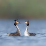 'Courtship' thumbnail