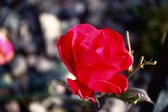Red Sea      SOM Berthiot Flor 50mm  F 3.5 (情事針寸II) Tags: rouge red 赤 クローズアップ 自然 花 薔薇園 薔薇 triplet oldlens closeup bokeh nature fleur flower rosegarden rose kasteelcoloma somberthiotflor50mmf35