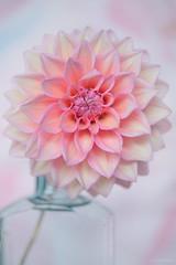 Pink Dahlia (glendamaree) Tags: dahlia flower stilllife artistic pink nature flowers petals macro nikon d750