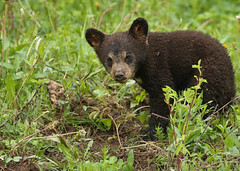 Black Bear cub...#30 (Guy Lichter Photography - 4.7M views Thank you) Tags: canon 5d3 canada manitoba rmnp wildlife animal animals mammal bear bears blackbear cub