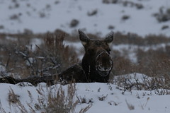 Cow Moose In The Snow (fethers1) Tags: jacksonholewyoming wyomingwildlife grandtetonnationalpark moose cowmoose snow winter wyoming