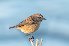 Stonechat ♀︎ (Linda Martin Photography) Tags: female dorset wildlife nature bird saxicolatorquata stonechat uk longhamlakes coth ngc coth5 naturethroughthelens npc alittlebeauty