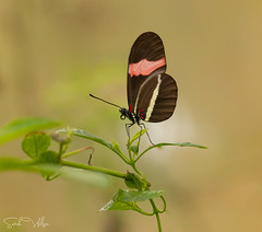 Postman Butterfly (SarahW66) Tags: red postmanbutterfly butterfly butterflyonplant butterflyhouse bokeh bokehphotography naturalbokeh nature naturephotography insect insectphotography insectonplant canon80d sigma105mm sigmamacro macro macrophotography