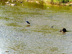 102_1536 (Cassiopée2010) Tags: cévennes nature oiseau héron rivière lacèze