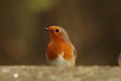 Robin (hedgehoggarden1) Tags: robin bird wildlife rspb creature animal sonycybershot lynfordarboretum norfolk eastanglia uk foresterycommission sony birds