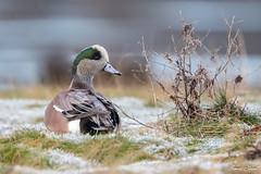 American Wigeon (Simon Stobart) Tags: american wigeon mareca americana scotland uk snow ice grass