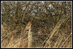 IMG_0079 Short-eared Owl (Scotchjohnnie) Tags: shortearedowl asioflammeus owl ornithology bird birdphotography birdwatching birdofprey ukbirds wildanimal wildlife wildlifephotography wildandfree nature naturephotography canon canoneos canon7dmkii canonef100400f4556lisiiusm scotchjohnnie raptor