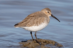 In Drab Winter Garb (tresed47) Tags: 2019 201902feb 20190205fowlersbeachbirds birds canon7dmkii content delaware dunlin february folder fowlersbeach peterscamera petersphotos places season shorebirds takenby us winter