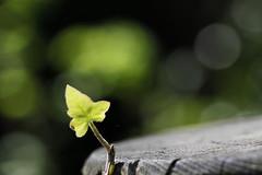Un signe, un élan (Emmanuelle2Aime2Ailes) Tags: macro feuille jeunepousse bokeh vert greentuesday