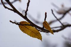 Chestnut leaves (Raoul Pop) Tags: branch chestnut garden home leaves plant snow snowfall vegetal vegetation winter