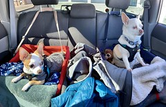 Double The Fun (A Wild Western Heart) Tags: adoptdon'tshop rescue rescuedog chien hond hund cane perro saturday dog chihuahua misslilybelle aipapi papi