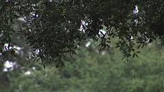 Rain on branches 2 (Ricardo's Photography (Thanks to all the fans!!!)) Tags: video b roll anthem park florida nature sony saintcloudfl centralflorida cinematic videolibrary freevideos 1080pvideos 1080p freefootage footage sonyvideos