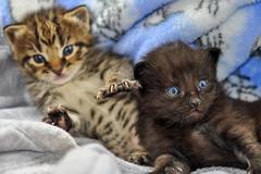 Brothers (jlucierphoto) Tags: kittens jameslucier nikon cute