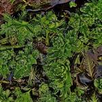 Myriophyllum aquaticum thumbnail