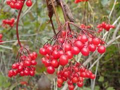 High Bush Cranberry