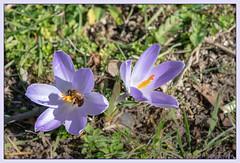 Journée ensoleillée (balese13) Tags: 1855mm d5500 indre issoudun nikonpassion abeille crocus fleur flower insecte nikon 510fav balese plante herbe